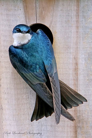 Tree Swallow at The Oceanside Nature Marine Study Area.
