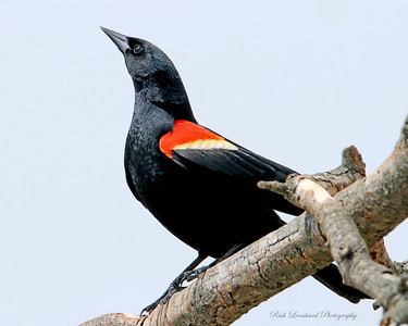 Redwing Blackbird at The Oceanside Nature Marine Study Area.