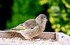 Baby Green Finch