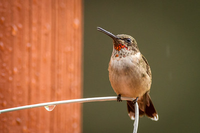 red throat hummingbird in rain -7880