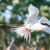 Roseate Tern flying into nesting area with small fish in beak