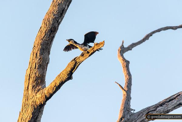 Cormorant Launch