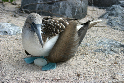 """Blue footed booby with egg"" Galapagos Islands, Ecuador"
