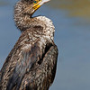 Great Cormorant, shot taken in Shinas - Oman, canon EOS 1D Mark iv + Canon EF 500mm f/4L