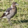 Pied Butcher Bird
