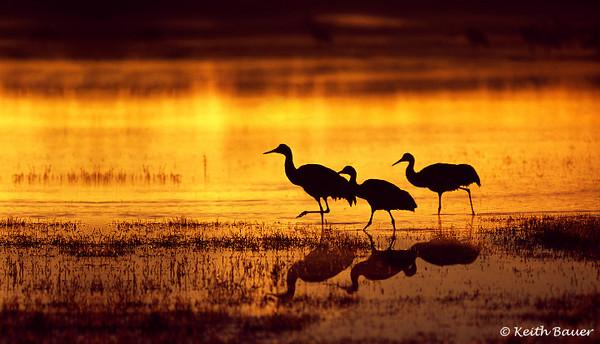 Sandhill Cranes - Bosque Del Apache NWR