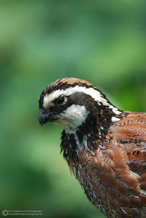 Northern Bobwhite, Colinus virginianus, Queens Zoo.