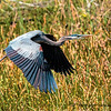 Great Blue heron    #1012