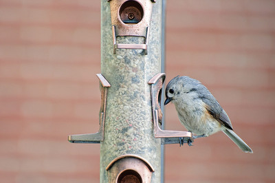 TuftedTitmouse2_May5