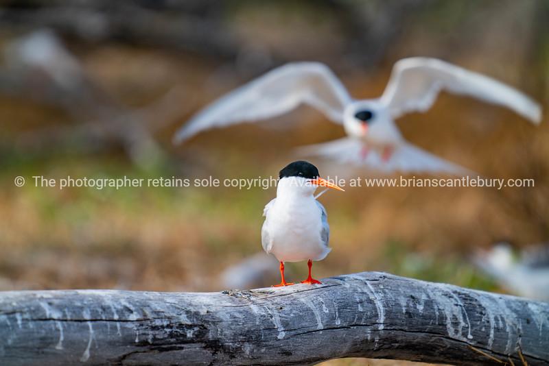 Roseate tern on log in nesting site.