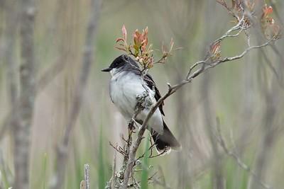 Eastern Kingbird, Tyrannus tyrannus.