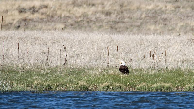 Bald Eagle, near Luna Lake, AZ.<br /> Nearby nest had a chick.