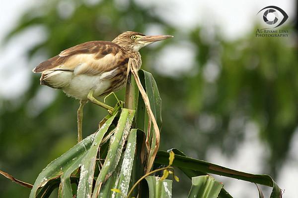"""Night Heron, Maysore """"India"""""""
