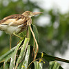 "Night Heron, Maysore ""India"""