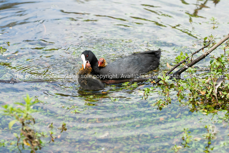 Australian coot and chicks