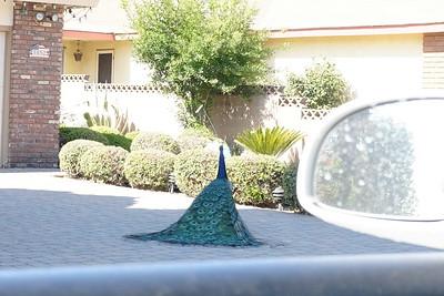 peacock court - step 2 - show butt