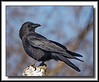 Common Crow @ Richmond Nature Park. (w/ Sigma 50-500, Bigma)