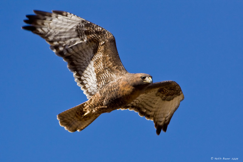 Red Tail Hawk Soaring