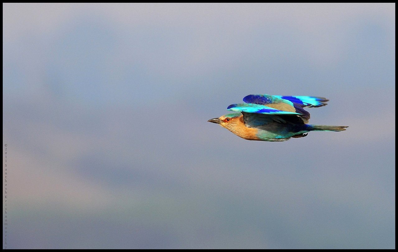 Indian Roller....also known as the Blue Jay....
