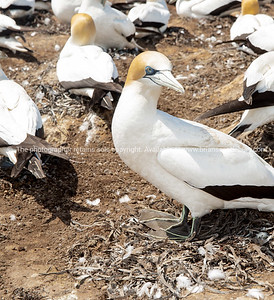 Gannets,  at rest on the ledge at Cape Kidnappers while one arrives with new nesting material in beak,  New Zealand.