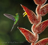 Green Crowned Brilliant - Heliconia Flower
