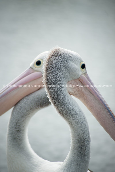 Heart shaped, two pelicans