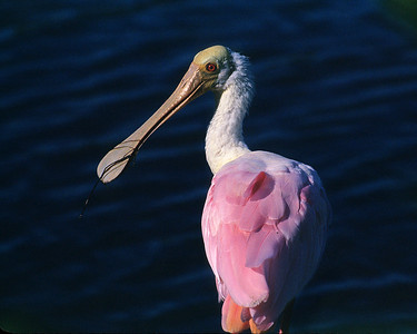 Roseate spoonbill gives the eye.
