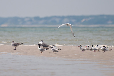 Terns at Monomoy NWR on 20100618