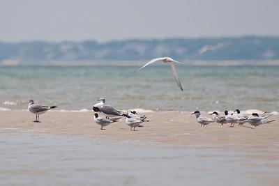 Terns at Monomoy NWR on 20100618