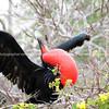 Frigate bird displaying in the Galapagos Islands.