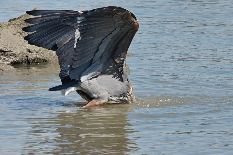 """Sequence 5/9 -  """"OMG!  It's pulling me deeper....""""<br /> Great Blue Heron on Fraser River @ Annacis Island"""