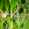 Yellow Bellied prinia resting on stem of grass