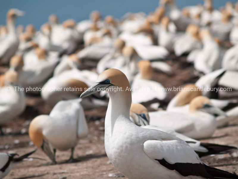 Gannet in focus with shallow depth of field, blurry flock in background.