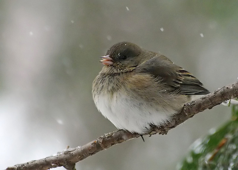 Dark-eyed Junco 3