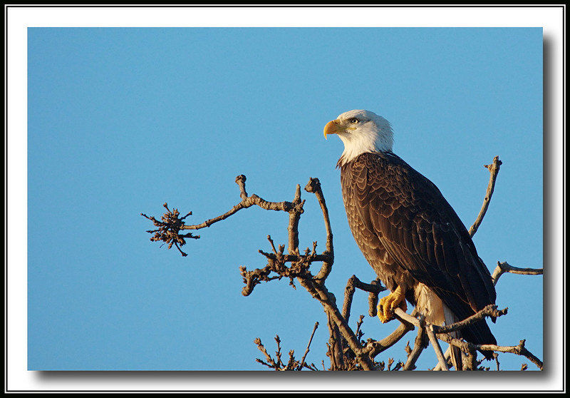 Bald Eagle at Boundary Bay, with Sigma 50-500