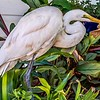 Great Egret (White Crane)
