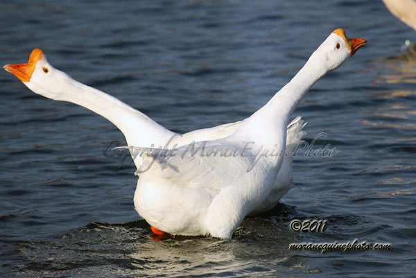 mep8647ChineseGeese-web copy copy