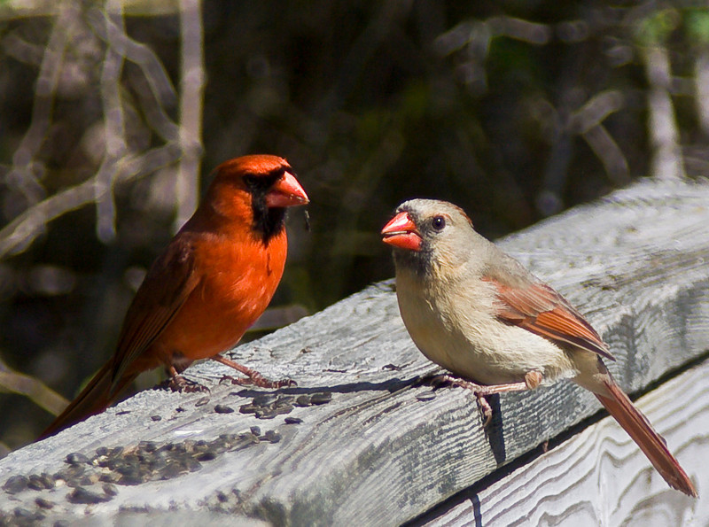 Male and female Northern Cardinal, Elizabeth Morton Wildlife Refuge.