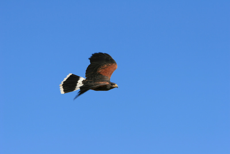 Harris hawk flying by