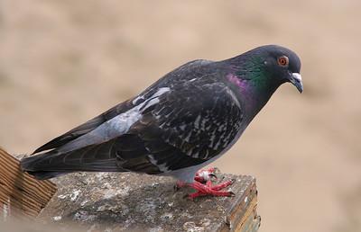 4306 Pigeon