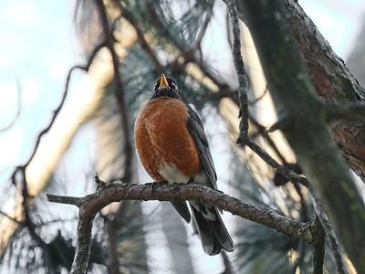 American Robin  - Turdus migratorius.