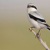 Southern Grey shrike, shot in Qatar, Canon EOS 1D Mark4 & Canon EF 800mm f/5.6L