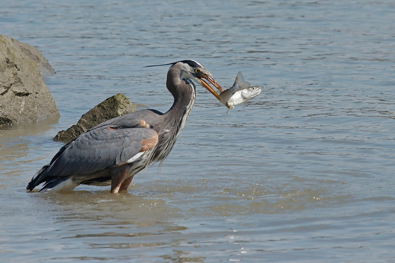 """Sequence 6/9 -  """"Just needed to find solid footing...""""<br /> Great Blue Heron on Fraser River @ Annacis Island"""