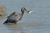 "Sequence 6/9 -  ""Just needed to find solid footing...""<br /> Great Blue Heron on Fraser River @ Annacis Island"