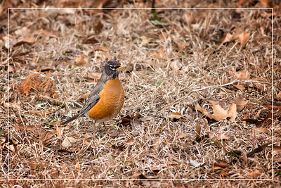 American Robin - A common sight on lawns across North America, where you often see them tugging earthworms out of the ground. Robins are popular birds for their warm orange breast, cheery song, and early appearance at the end of winter.