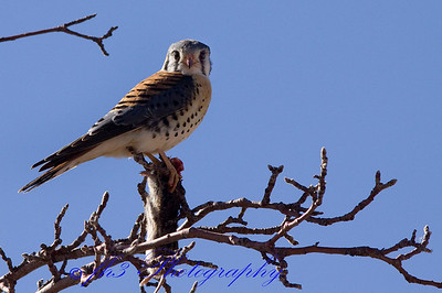 Lunch time for this Kestrel