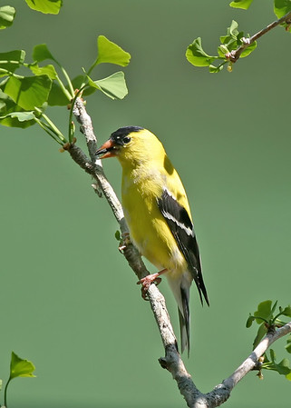 American Goldfinch - Goldfinches are among the strictest vegetarians in the bird world, selecting an entirely vegetable diet and only inadvertently swallowing an occasional insect.