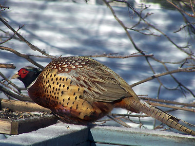 This beauty showed up at our feeder daily during February of 2007, prompting us to add corn to our offerings. He added much color to the monochromatic landscape.