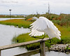 Great Egret landing on handrail at The Oceanside Nature Marine Study Area.