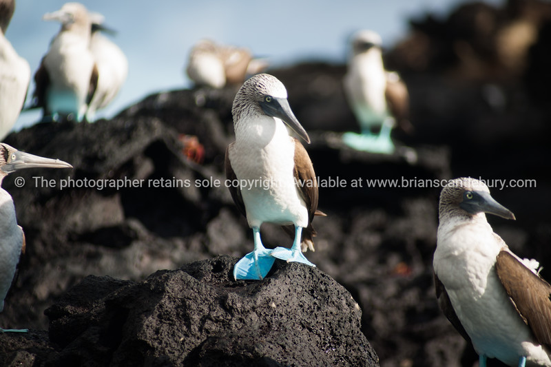 Iconic blue footed booby.